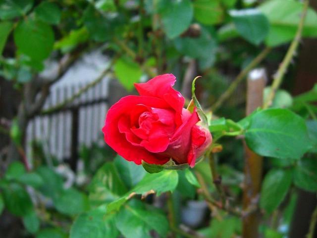 薔薇:クリックして大きな画像でご覧下さい